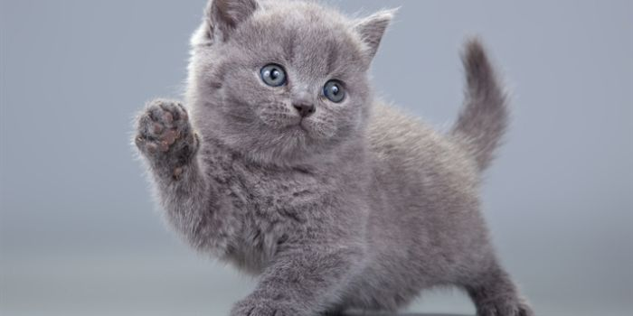 British Shorthair: un gatto per tutta la famiglia